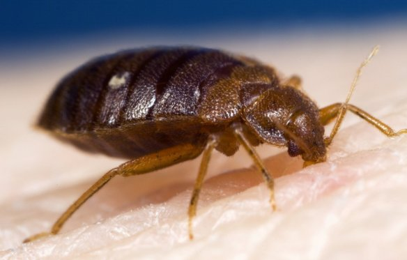 The global resurgence in bed bugs has been attributed to increased international travel and a shift in household insecticide use but perhaps it is resistance that is driving the increasing pest impacts? (Photo: Steve Doggett)