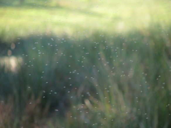 Swarms of chironomid midges around freshwater wetlands at Sydney Olympic Park