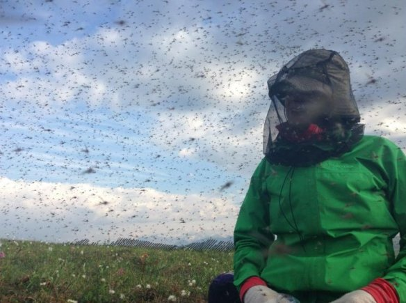 Swarms of mosquitoes engulf a researcher at Toolik Field Station, Alaska (Photo: Alaska Dispatch)