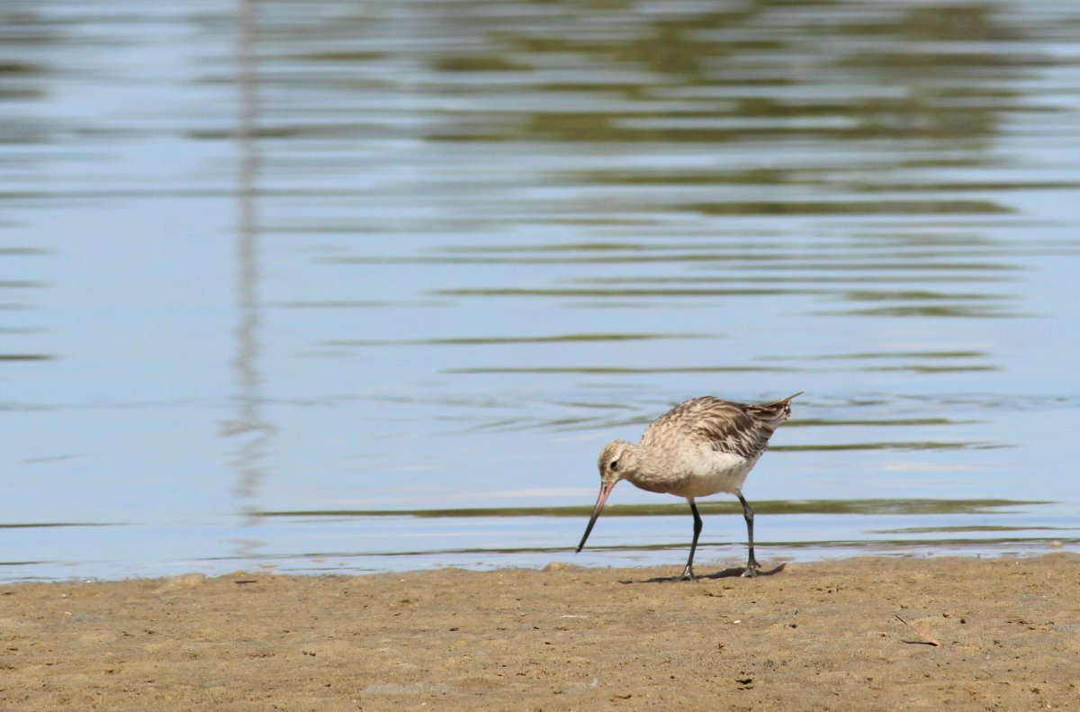 bartailedgowit_Dec2014HenChickenBay