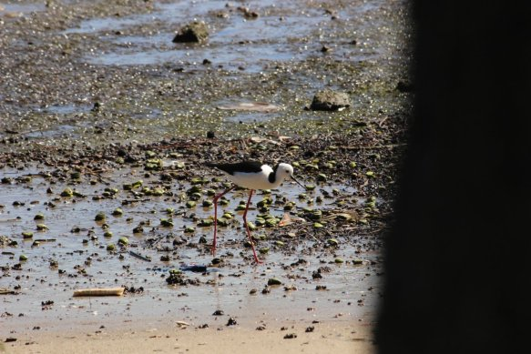 Blackwingedstilt_henandchickenbay_1september2015