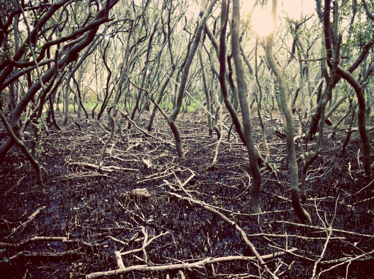 mangroves_duckcreek