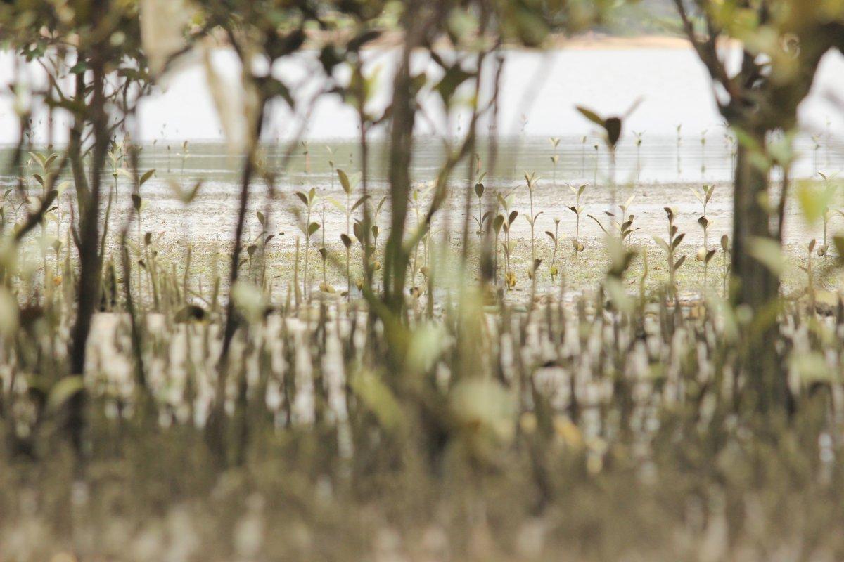 mangroves_Dec2015_HenandChickenBay