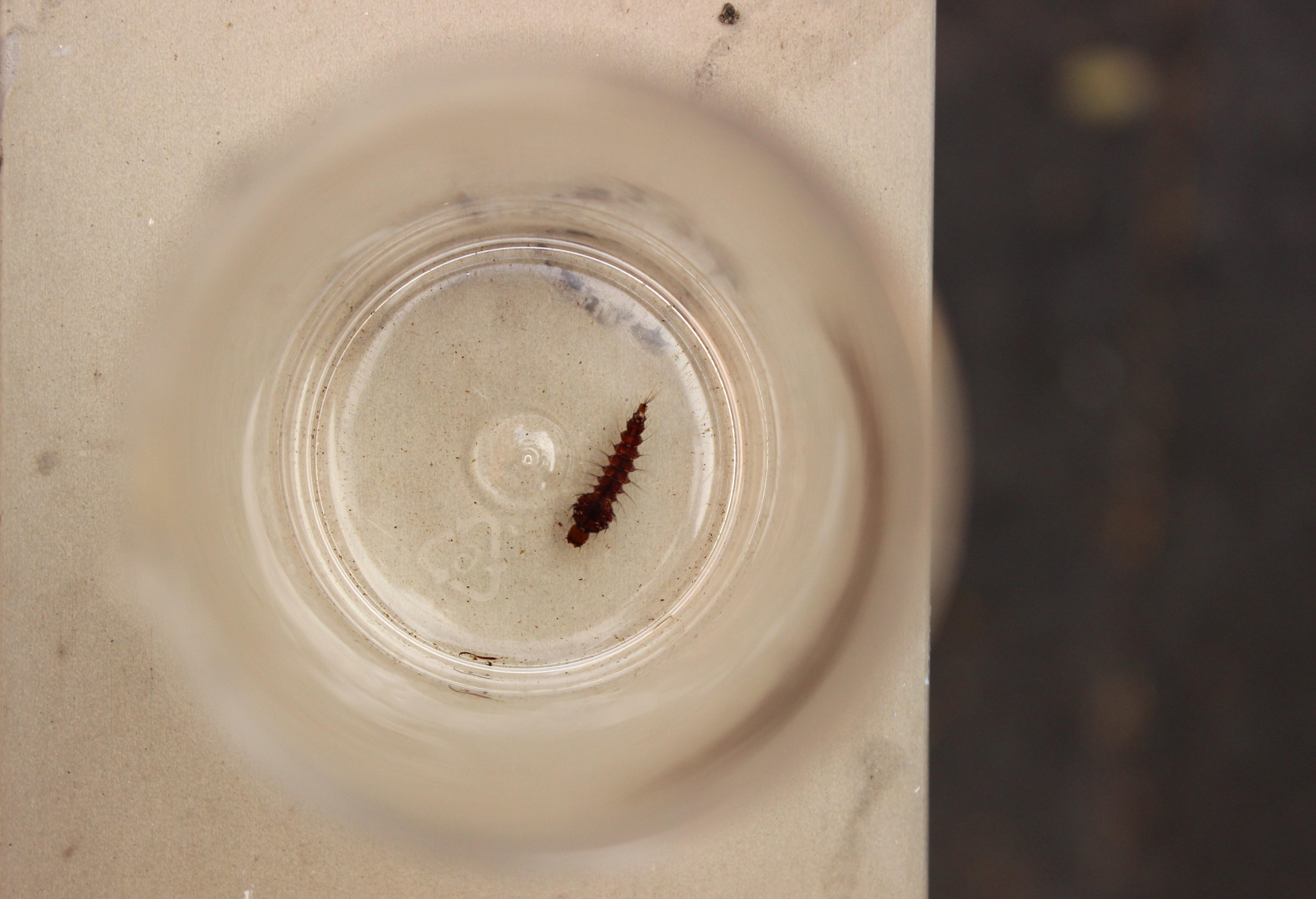 Toxo_larvae
